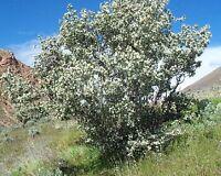 100 Utah Serviceberry Seeds, Amelanchier Utahensis, Shrub Seeds