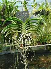 Neostylis Lou Sneary var. alba Bloom size Mounted Nice Plant