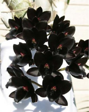 Fdk After Dark Black Pearl Catasetum Big Bloom Size Fragrant II