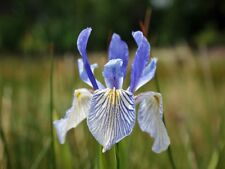 Iris missouriensis 'Rocky mountain iris-Blue flowers-10 fresh seeds