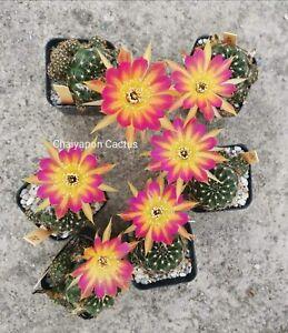 Echinopsis Lobivia Cactus Hybrid # 140