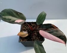 Philodendron Pink Princess variegated