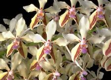 Orchid Vanda Lmellata v8 Boxalli ………Stock #272