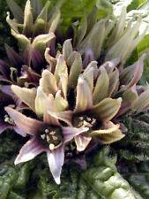 Alraune (Mandragora officinarum) Päckchen