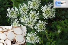 DR T&T 100g dry herb Bai Zhi , Radix Angelicae Dahuricae