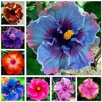 30PCS Riesen-Hibiskus-Samen-Teller Hibiskus-Staude-Blume Neu U0T1