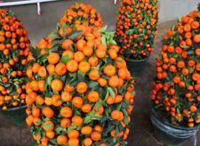 50 Pcs/pack Potted Edible Fruit Seeds Bonsai Climbing Orange Tree Seed