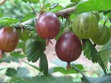 15 Graines de Groseille à Maquereau Méthode BIO seeds fruit rouge vivace jardin