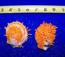 1 - Spondylus Orange Spiny Oyster Ducalis Sea  Shell pair
