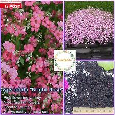 "50 GYPSOPHILA ""BABY'S BREATH"" SEEDS(Gypsophila elegans); Fragrant flowers"