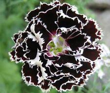 25 graine OEILLET DOUBLE NOIR ET BLANC (Dianthus Chinensis Chianti) X334 SEEDS