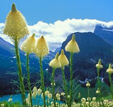 Corn Lily/ Bear Grass, Ideal for crafts! Fresh seeds! flowers upto 4ft hardy!