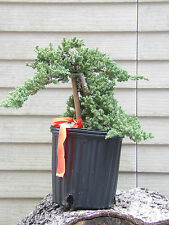 Bonsai Tree Plant Pre Bonsai Juniper procumbens nana Bonsai Tree