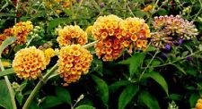 """Buddleja x weyerana """"Golden Glow"""" Butterfly Bush x 1 plant"""