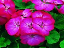 15 Geranium Seeds Saturn Picotee flower seeds
