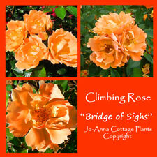 BRIDGE OF SIGHS CLIMBING ROSE FRAGRANCED REPEAT BARE ROOT ** ANY 4 FOR 3 **