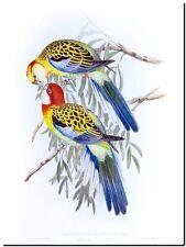 "Vintage John Gould Australian Bird Art CANVAS PRINT~ Eastern Rosella 24""X16"""
