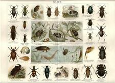 Stampa antica INSETTI SCARABEO SCRABBLE KAFER 1890 Old antique print