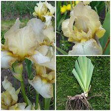 Tall Bearded Iris - Benton Primrose - Rare Historic Hardy Perennial