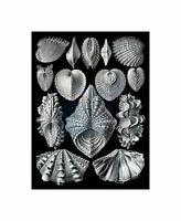 55th Plate Ernst Haeckel Kunstformen Der Natur Acephala Canvas Print