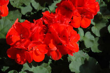 30 Geranium Patriot Red Live Plants Plugs Garden Diy Planters D10002