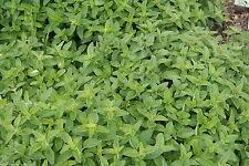 100% Naturreines Ätherisches OREGANOÖL, (Origanum vulgare), Griechenland, 10 ml