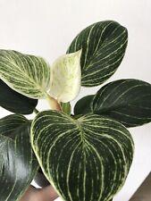 philodendron BIRKIN 'White Measure' plant RARE