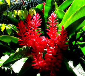 🔥 Madagascan CURCUMA MANGGA Turmeric Plant Roots Rhizomes Rare Flower TR02-03