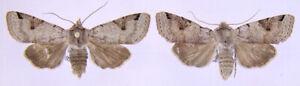 2 x Agrochola luteogrisea aus Griechenland