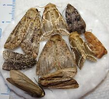 Unidentifed Moth Species Michigan MI-03(#25) Noctuid Arctiid Insect Collection