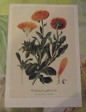 Ancienne Planche Botanique d'après Gaston Bonnier Souci des Jardins