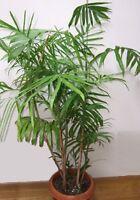 Bambuspalme Chamaedorea Seifrizii Bergpalme Zimmerpflanze