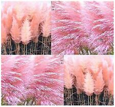 (100) PINK PAMPAS - PAMPAS GRASS seeds - ORNAMENTAL & DECOR PINK PAMPAS