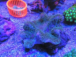 Green Tentacled Toadstool Coral