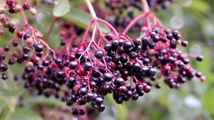 American Elderberry Plant 2 Rooted Plants