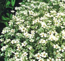 Cerastium Tomentosum - Snow in Summer - 500 seeds - perennials