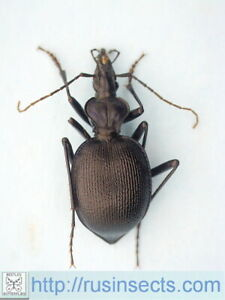 Carabidae, Carabinae, Cychrini Scaphinotus (Brennus) interruptus USA California