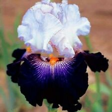 25pcs Iris seeds, flower variety complete, the budding rate 95% ,# 13