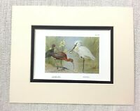 1929 Antico Stampa Lucido Ibis Uccello Spoonbill Wild Uccelli Archibald Thorburn