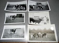 Vintage Black & White Photo Lot Of 6 Cattle Cow Related Images 50's Era #2