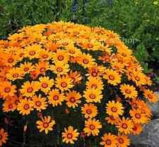 Solar Fire Daisy - Ursinia Anthemoides - 70 seeds - BIENNIAL FLOWER
