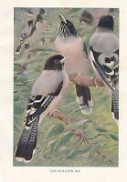 C1914 Naturel History Imprimé ~ Lanceolated Jay ~ Lydekker
