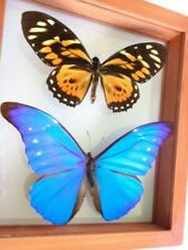 2 REAL FRAMED BUTTERFLY BLUE MORPHO CACICA  & BIG TIGER PAPILIO ZAGREGUS AMAZING