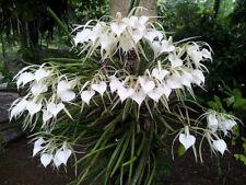 Orchid Brassavola nodosa (FS) 22 sr