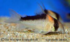 "(6) .5-1"" Corydoras adolfoi TR Live Freshwater Tropical Catfish Beginner Algae"