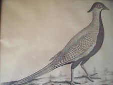"ELEAZER ALBIN (1690-1742) ""THE WHITE CHINA PHEASANT""  ENGRAVING CUSTOM FRAME"