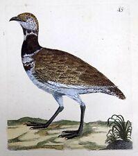 1794 BUSTARD  Rémi WILLEMET Ornithologie copper engraving in fine hand color