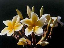 12 Hawaiian Yellow Plumeria Plant Cuttings ~Grow Hawaii