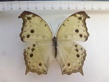 Salamina parhassus hembra ex rep. Centrafricaine, África, n567