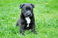 American Staffordshire Terrier Puppy Dog Poster Print 24x36 Hi Res